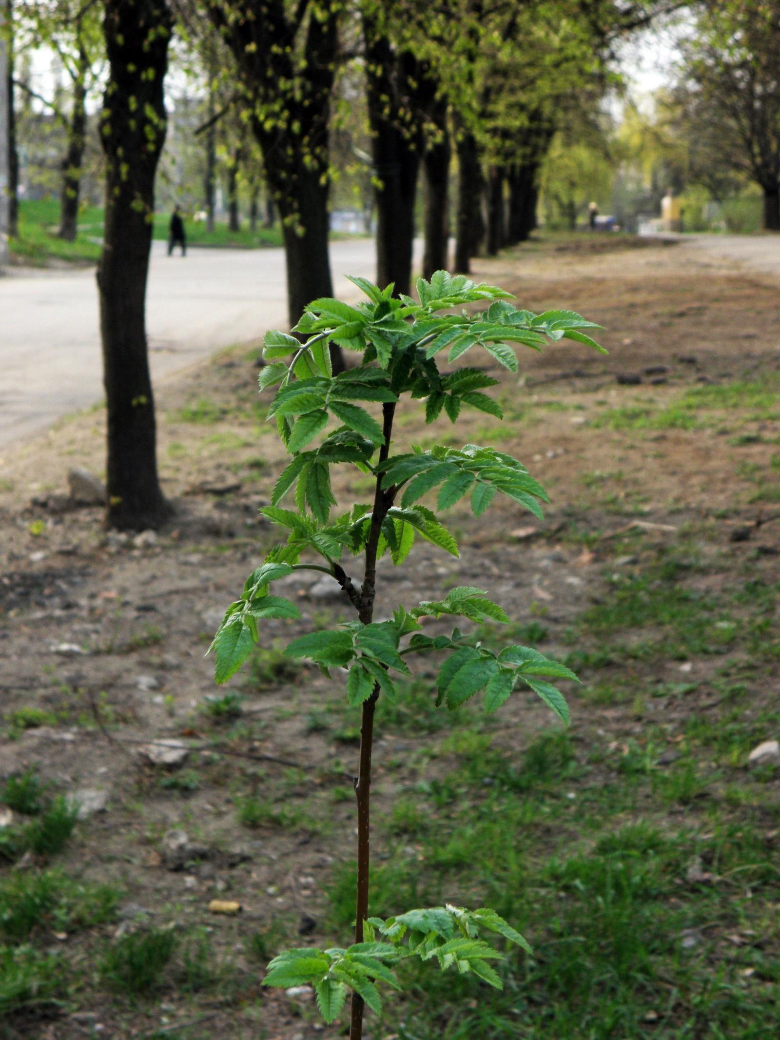Когда посадить рябину: весной или 74