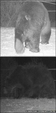 Медведи в Чернобыльской зоне