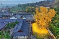 Знаменитое дерево гинкго в Китае
