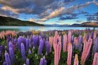 Красочный люпин на озере Текапо