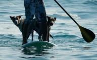 Австралиец и его собаки на доске для серфинга
