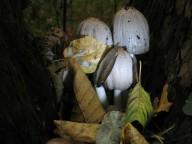 Про грибы - 1: навозники