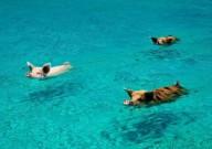 Плавающие свинки на Багамских островах