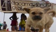 Собака с марафонцем пробежали 100 км по пустыне