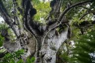 Дерево каури в Новой Зеландии