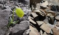 В Китае цветок притворяется камнем и прячется от людей