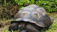 Обнаружен новый вид гигантских черепах