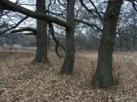 Вековая дубрава возле Балаклеи под угрозой вырубки