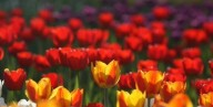 Фестиваль тюльпанов организуют на Буковине