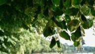 В Ужгороде зацвела самая длинная липовая аллея Европы