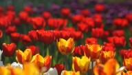 Нидерландский Кекенхоф покажет цветение тюльпанов