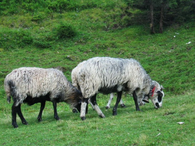 овцы на полонине